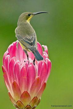 Female Malachite Sunbird female feeding on nectar from a protea flower - Pixdaus Kinds Of Birds, Birds 2, Wild Birds, Love Birds, Pretty Birds, Beautiful Birds, Animals Beautiful, Cute Animals, Beautiful Things