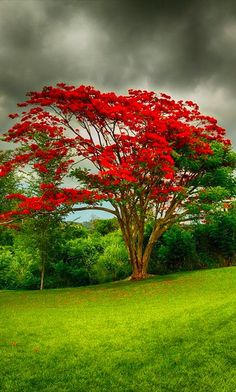 A flamboyan tree or Royal Poinciana. Gets mentioned a lot in The Rum Diary.
