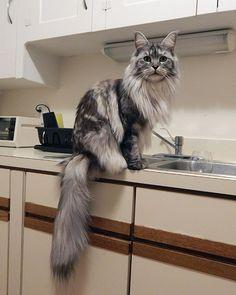 16-gatos-enormes-que-irao-fazer-o-seu-gato-parecer-minusculo-9