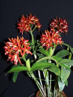 Espécies brasileiras são destaque em exposição de orquídeas na Liberdade