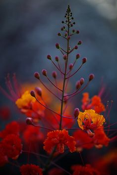 Mexican Bird of Paradise by barbara carroll http://flic.kr/p/ow4zto