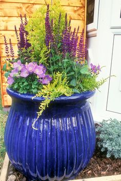 Big Shiny blue pot container garden with perennial plants Salvia  Campanula on wood mulch, container garden with gold evergreen yew shrub, ...