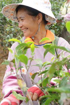 Tea picker Yunnan China