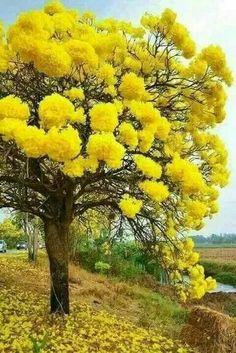 Mimosa amarilla ¡Linda!