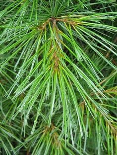 Pine Needles In The Tea. Forget The Flu. Feel Better. Think Clearly. » Natural Health Solutions