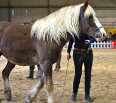 #Cheval #Horse #Pferd #ChevaldelaForêtNoire #SchwarzWaldPferd #SalonduChevalAlbi