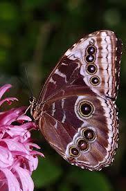 blue morpho butterfly - Google Search