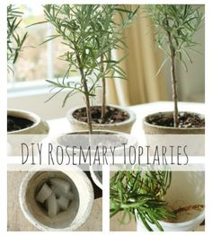 DIY Rosemary Topiaries-Tutorial & Tips For Growing Your Own - City Farmhouse
