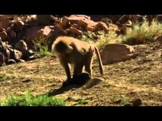 Baboon puppy snatchers: Baboons kidnap and raise feral dogs as pets...so weird