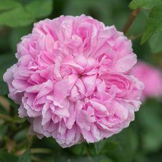 Jacques Cartier - David Austin Roses