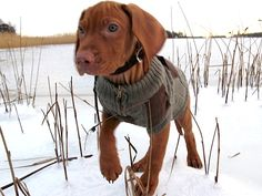 "Mauro-puppy (Hungarian Vizsla) wearing ""a hunting jacket"""
