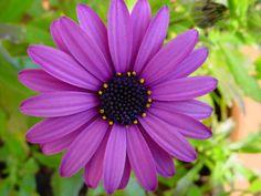 Google Image Result for http://thepurpleflowers.net/wp-content/uploads/2012/05/purple-daisy.jpg