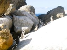 African penguins living among the boulders on a beach near Cape Town.