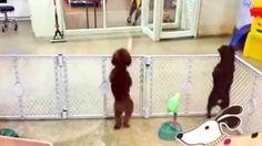 Watch this dance when she sees her owner ! / Regardez la danse qu'elle exécute quand elle voit son maître.