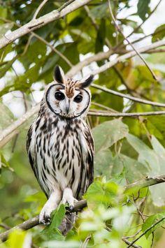 featheroftheowl:  Striped Owl by Walter C Mello