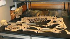 A Suffolk museum has taken delivery of the skeletal remains of an Anglo-Saxon warrior and his horse. The warrior and his horse are being displayed as they were found in the grave at RAF Lakenheath [Credit: BBC]