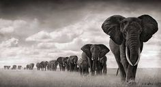 30 millions d'amis magazine aime...  #elephants  #Amboseli #2008 by Nick Brandt - All rights reserved -  www.nickbrandt.com