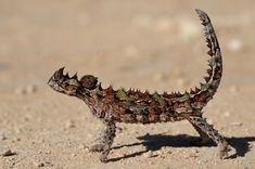 |kris| posted a photo:  The thorny dragon (Moloch horridus) is an Australian lizard, also known as thorny devil, mountain devil, thorny lizard or moloch. Other nicknames are devil lizard, horned lizard and thorny toad.  The thorny dragon grows up to 20 cm in length, and it can live for up to 20 years. Most of these lizards are coloured in camouflaging shades of desert browns and tans. These colours change from pale colours during warm weather and to darker colours during cold weather. These…