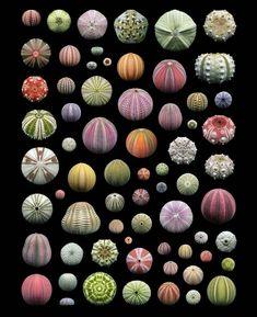 Sea Urchin Shell, Sea Urchins, Brittle Star, Boat Art, Rare Species, All Nature, Ancient Art, Sea Creatures, Beautiful Creatures