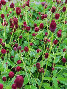Blodtopp, Sanguisorba officinalis 'Tanna' - Oxblodsröda, mycket iögonfallande dekorativa blomhuvuden. Blommorna sitter, nästa svävande på luftigt förgrenade stjälkar. Denna sort är lägre än den rena arten. Blommar juni-augusti. Vacker i sällskap av svart stockros, jättedaggkåpa, trebladsspira och som en extra skönhetsförhöjare så planteras perennerna i närheten av en japansk gyllenlönn som kontrast.