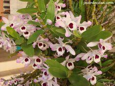 orquidea-olho-de-boneca..... #IgualAMinha
