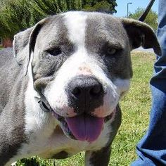 Elizabeth is an adoptable Pit Bull Terrier Dog in Berkeley, CA. Sweet Elizabeth came to us with bite marks on her head and legs, skin mottled with demodex, a misshapen muscular-skeletal system, a fear...