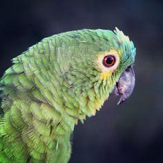 Sesc Pantanal | Papagaio | Foto do Leonardo Barçante (@leobhmgbr: #sescmt #papagaio #parrot #pantanal #mt #pocone #nature #colors)