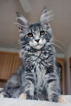 Are you looking to find Maine Coon Kittens for sale? We have some tips and advice to help you find these cats for sale from a trusted breeder in your area Kitten For Sale, Cats For Sale, Funny Cat Compilation, Funny Cat Videos, Cute Cat Gif, Cute Cats, Funny Cats, Maine Coon Kittens, Cats And Kittens