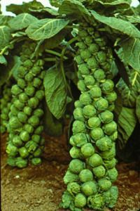 How to Grow Brussels Sprouts - I may have to try growing these again.