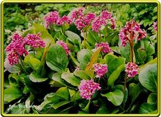 Bergenia-- What a durable, dependable performer. Waxy evergreen leaves that are slug resistant take on bronzy shades in winter. Has bright pink blooms in spring. Bloom, Plants, Garden, Cottage Garden, Perennial Garden Plans, Evergreen, Perennials, Slugs In Garden, Rabbit Resistant Plants