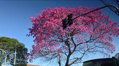 Linda árvore na rua Maracatins - Ibirapuera - São Paulo - Brasil   http://imoveismlara.wordpress.com/ http://www.marcelolara.com.br