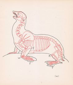 Vintage Sea Lion Anatomy Print Skeleton Illustration Book Plate Color Animal