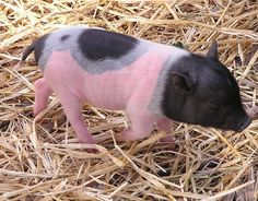 Hot pink piglet
