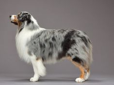 Australian shepherd, Beautiful coat