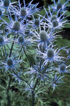 2-sea-holly-eryngium-x-oliverianum-archie-young.jpg (594×900)