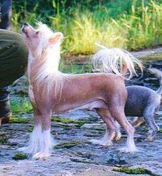 Chinese Crested Dog - Bedlam Ebony, Female hairless