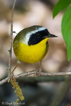 The Common Yellowthroat (Geothlypis trichas) is a New World warbler. They are abundant breeders in North America, ranging from southern Canada to central Mexico.