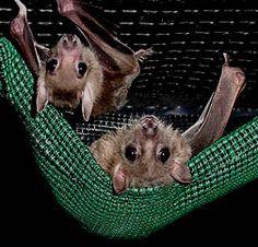 Mini-Me « Bat rescue, bat rehabilitation bat conservation and sanctuary for bats. A non-profit organization dedicated to bats!