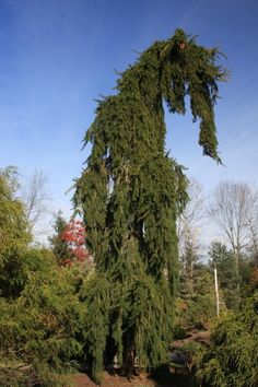 Picea abies Pendula: Weeping Norway Spruce Deer Resistant Choice evergreen accent with weeping spreading branches. Needles have excellent rich green color. Grown on a stake to feature the pendulous nature of the branches. Terrific for weeping over walls.