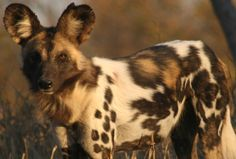 AFRICAN WILD DOG PAINTINGS | Conservation Concerns | wineandwilddogs