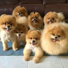 Can you ever have too many Pomeranians?