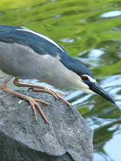 Birding in Taiwan: The Black-Crowned Night Heron - My Several Worlds