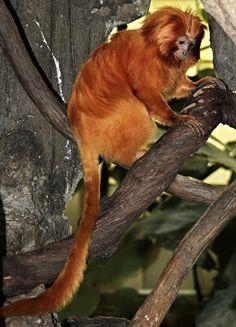 Golden lion tamarin monkey - The Fresno Chaffee Zoo - Pix.by.PegiSue  /www.flickr.com/photos/pix-by-pegisue/