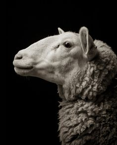 Kevin Horan's Portraits of Goats and Sheep / Lizzie #1