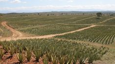 When it comes to the efficiency of converting CO2 into oxygen, 20 #Aloe plants is equal to one tree!