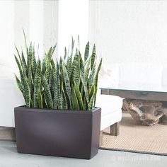 Snake Plant | My City Plants