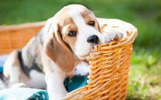 Download wallpapers beagle, small puppy, basket, cute dogs, pets