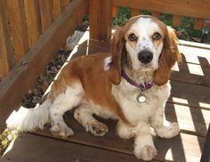 cocker spaniel basset hound.  Too cute.  I want one