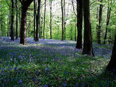 Fforest Fawr Bluebells | Flickr - Photo Sharing!