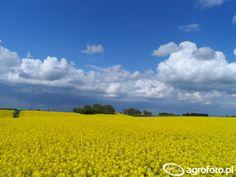 Rzepak #wiosna #rzepak #pole #maj #rolnictwo
